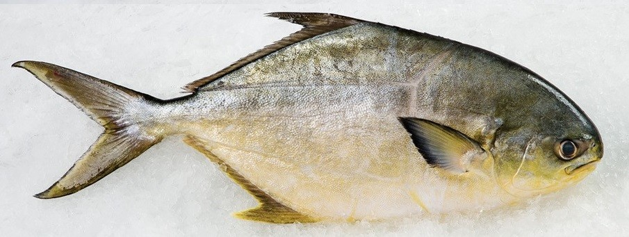 Fresh wild pompano for Pompano fish good to eat