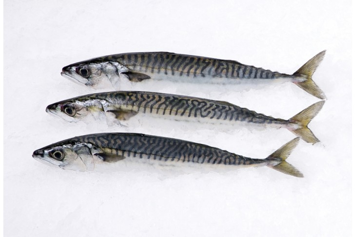 Wild Boston Mackerel Whole