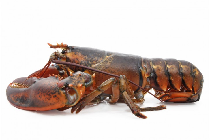 Wild Large Live Lobsters